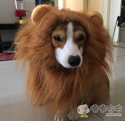 变异了!成狮子狗了!!!!