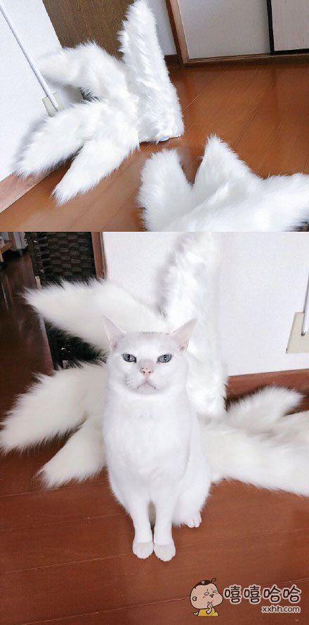 岛国一位主人给自家猫咪制作的九尾狐尾巴,还没最终完工,但现在戴上就已经妖气冲天了。。。凡人,还不快给女王跪下!