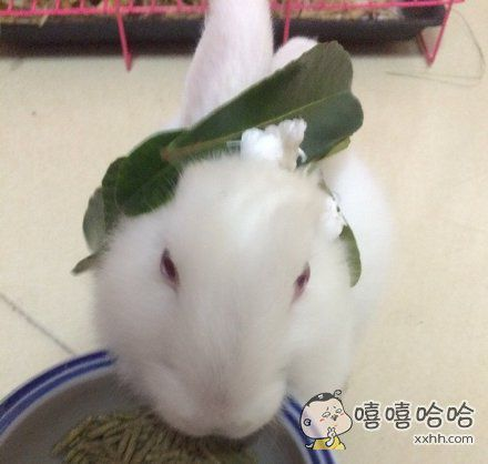 我家兔子自从带上叶子,吃啥都香