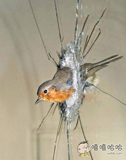 一只进击的战斗鸟!