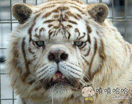 最丑白虎:人工近亲繁殖致鼻小牙突脸狰狞~