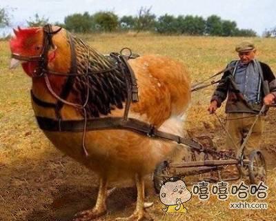 你家公鸡比牛还牛逼