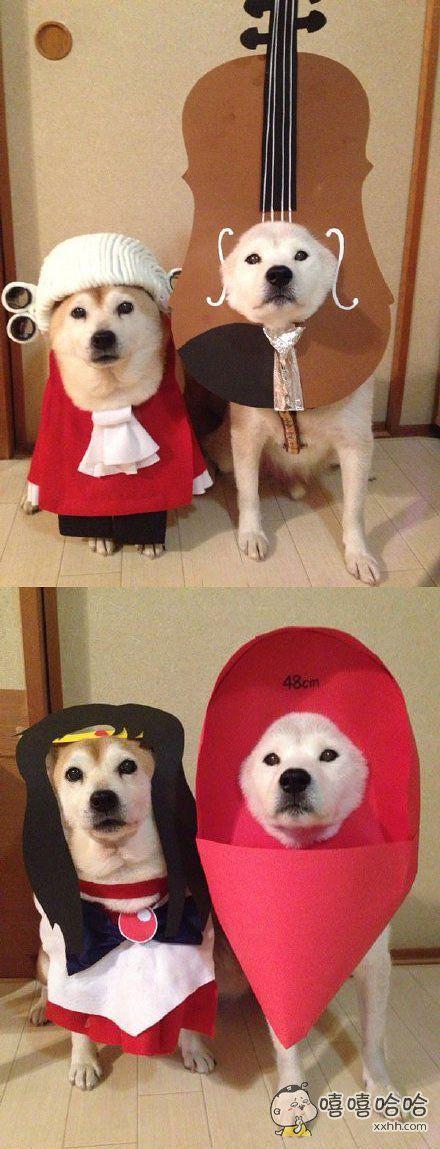 这两只柴犬叫S和H,是柴犬界的变装翘楚。看它们的生无可恋脸就知道是被主人强行cos的。