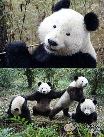 如果熊猫没了黑眼圈。。。
