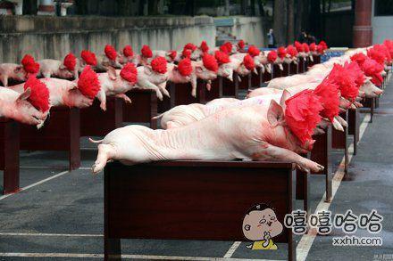 别再说人生不如狗不如喵了,现在连猪都不如了