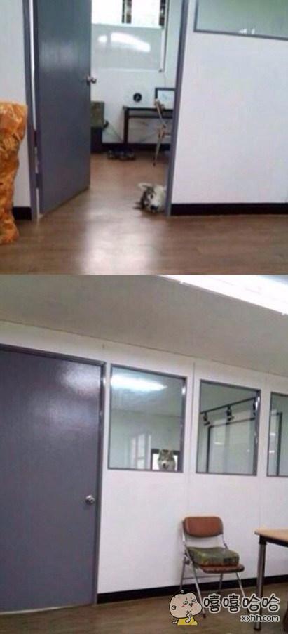 网友说老板把家里的哈士奇带来了公司。。。