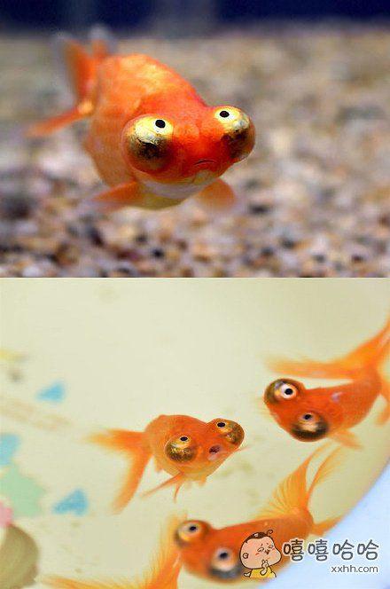 这几天迷恋上了一种金鱼,分享一下,这个品种叫望天…