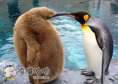 帝企鹅儿子(左)和老子(右)