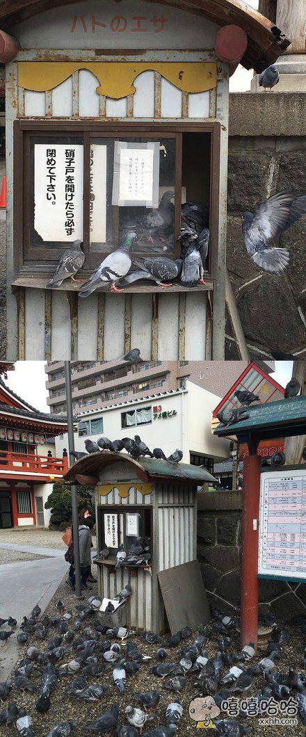 """日本一神社的鸽子食物小铺窗口提醒大家""""要注意关上窗口"""",结果有人没有关,鸽子涌入,抢食大战开始了…"""
