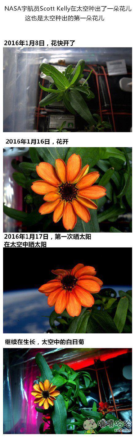 在太空中种出来的第一朵花:白日菊