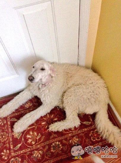 网友说她爹帮她的狗剃毛,剃完头休息了一下。。。于是。。求狗的心理阴影面积