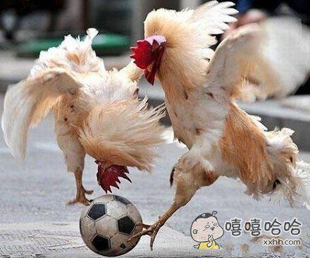 一群爱足球的鸡