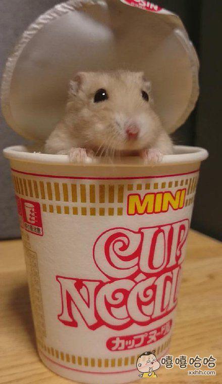 一只可能以为自己是杯面的仓鼠