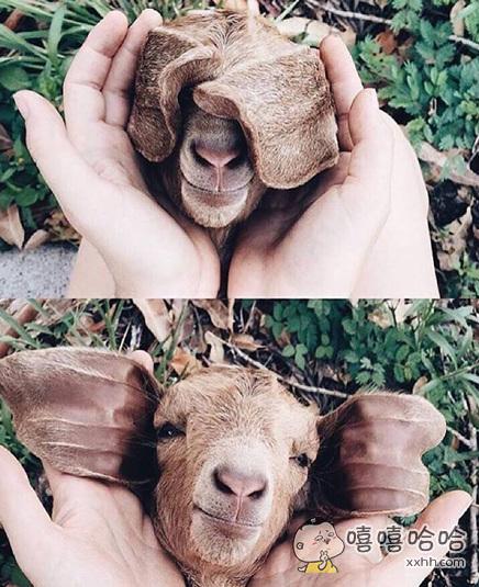 一只治愈系的小羊羔