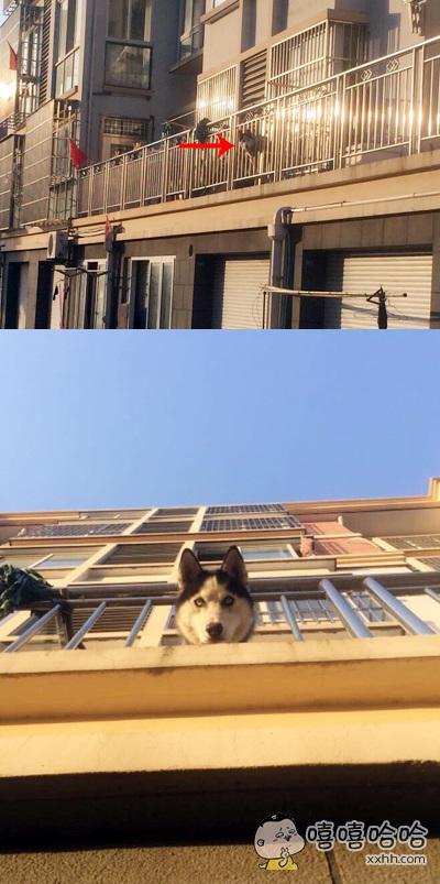 你在楼下看二哈,看风景的二哈在楼上看你,二哈装饰了主人的窗子,你装饰了二哈的梦。