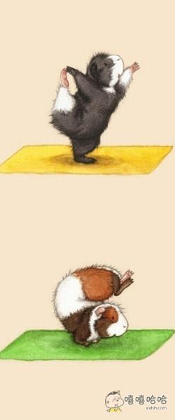 如果小仓鼠会练瑜伽就是这个萌样子