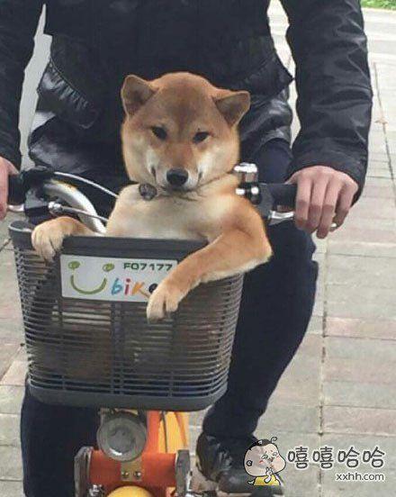 """在街上看到有一只的柴柴坐在自行车前面的篮子,还一直对著途人微笑。。。柴柴:""""美女,约吗?"""""""