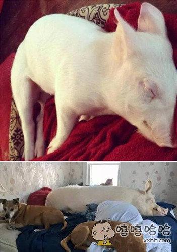 当初眼瞎买的迷你猪,如今赶脚好心塞啊!