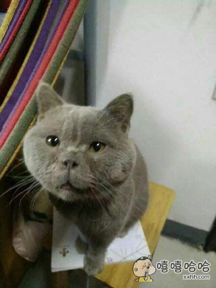 看到朋友圈的这只猫……这张脸真的太好笑了完全承受不来。哈哈哈