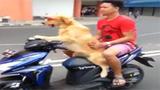 太拉风了!汪星人骑摩托带主人兜风