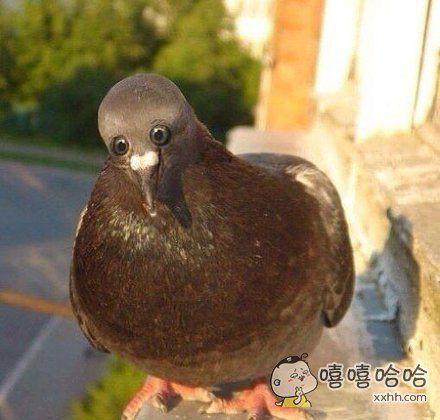 如果鸽子的眼睛长在了前面。。。