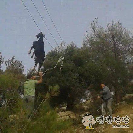 一只倒霉山羊被挂在了6米高的电话线上,救援人员费了好大劲才把它救下来,所以到底是怎么挂上去的
