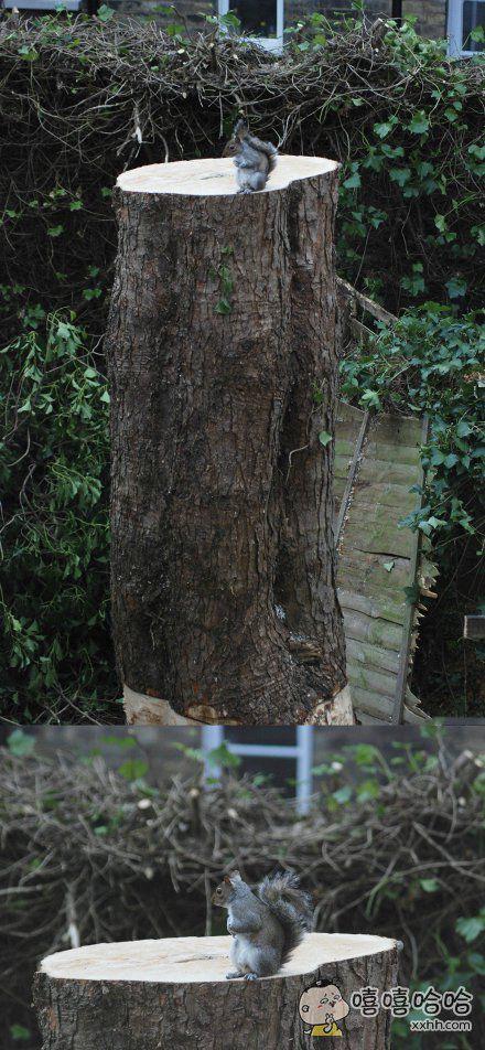 邻居两周前砍掉了家门口的树。网友拍下了原来住在这里的松鼠朋友回到老家时的样子