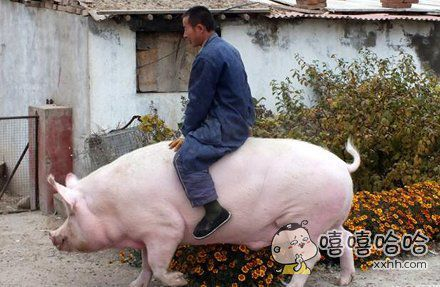 家猪骑士~