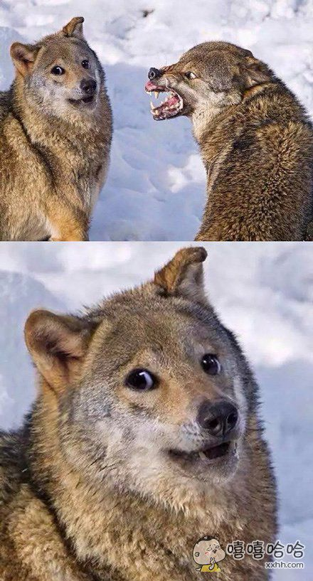 一只狼被女朋友逼成了一只狗