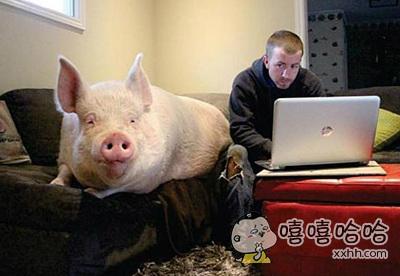 和猪一起生活是怎样的一种人生?