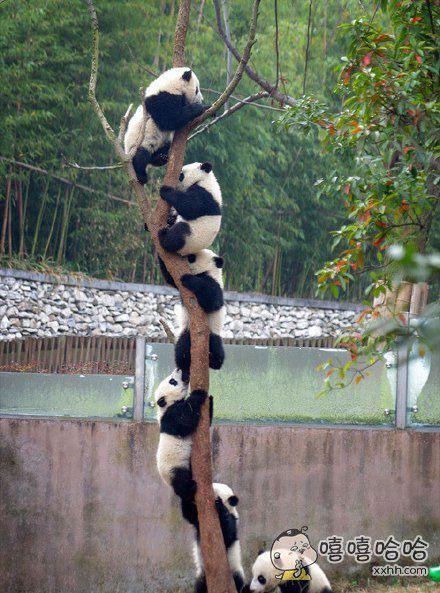 一棵长满了熊猫的树