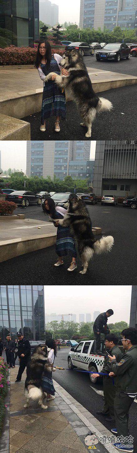 网友爆料,一只疑似走丢的阿拉斯加在大街上缠上了一个路过的妹子搂、抱、扑、扯、拉,你这么大个,妹子也是无奈啊,最后狗狗暂时被城管接走了
