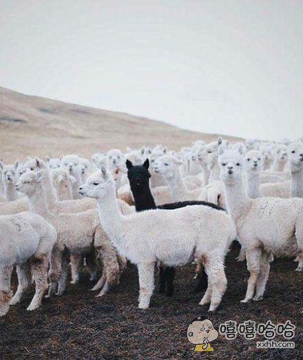 只因在羊驼群里多看了一眼