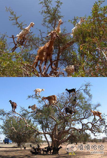 一到丰收的季节,树上就结满了山羊