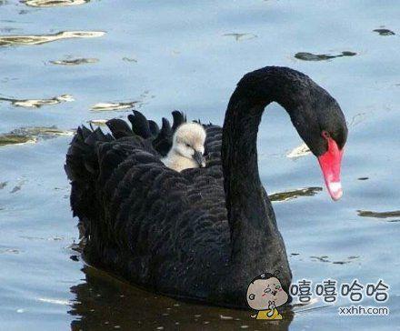 丑小鸭小时候真的好丑啊,但是他爸爸是天鹅。。。。