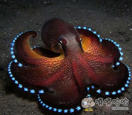 椰子章鱼!