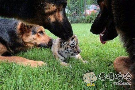 坑爹呀!虎落平阳被犬欺