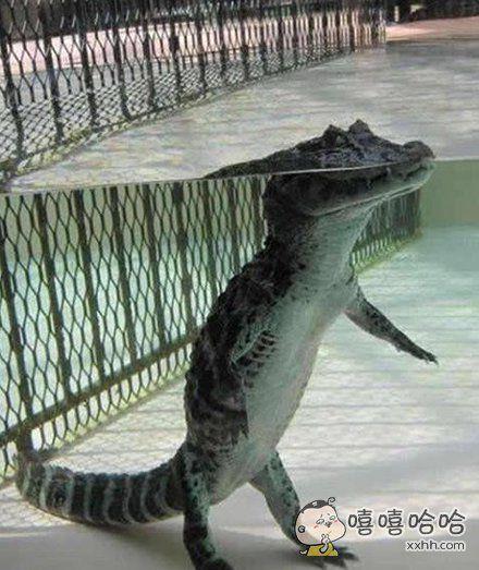 鳄鱼在水下竟然是这样的