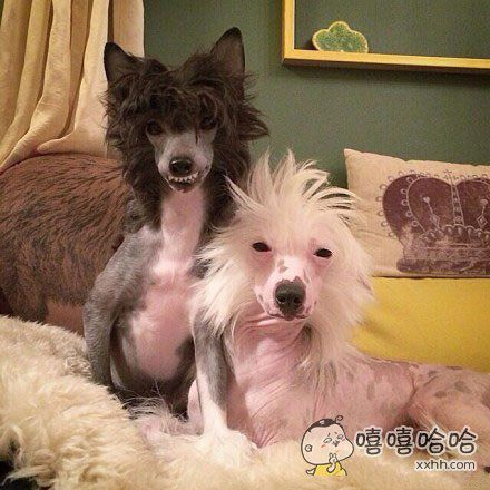 世界最丑狗的中国冠毛犬,丑帅丑帅的