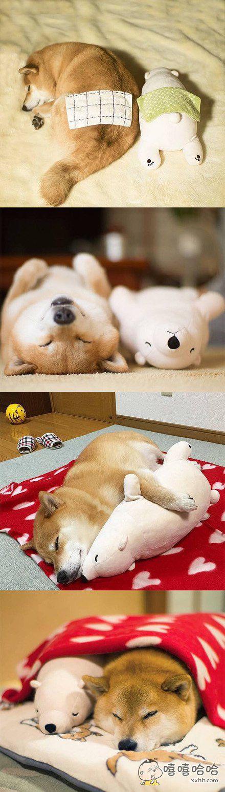 小柴犬和他心爱的北极熊,新的一天就这样开始了