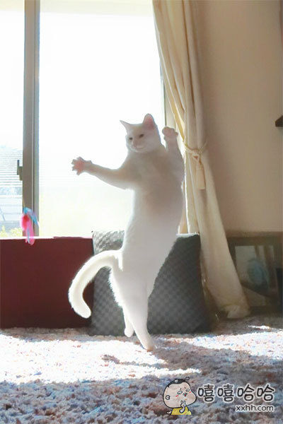 喵界的芭蕾女神