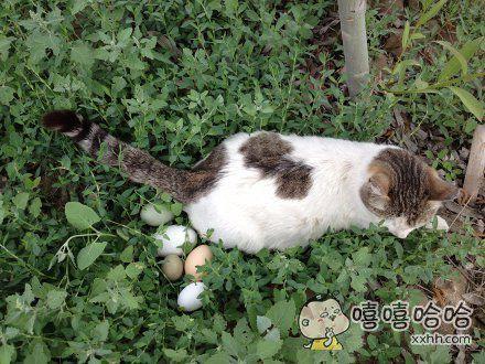 下蛋中的战斗猫