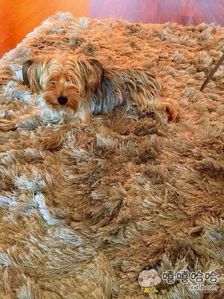因为这个地毯,汪一天被踩了三回,目前整个狗已经崩溃了……