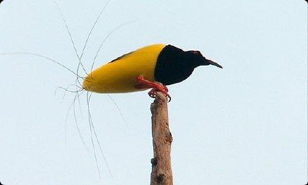 """朋友说要发给我一张""""长了屁毛的鸟"""",我不信,心想怎么也得是羽毛尾巴……一打开图片我就信了……十二线极乐鸟,真的有十二根屁毛"""