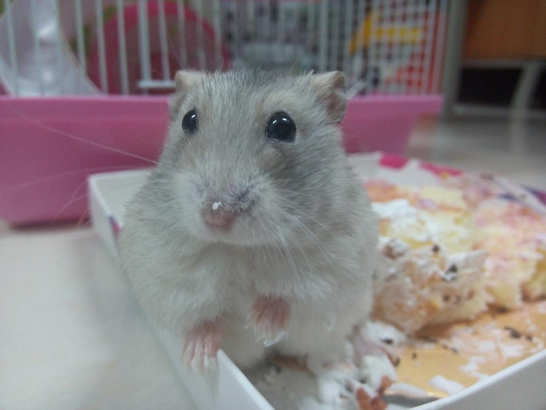 萌萌的仓鼠球,我家的哦,把它放在蛋糕盒子里,结果这家伙鼻子上脚上都沾了奶油,还一脸无辜的要吃