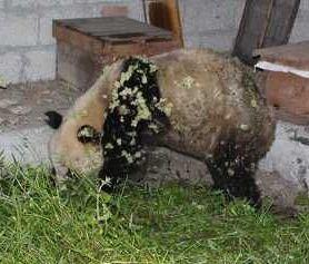 脏的简直木法看的吃货野生大熊猫,人生瞬间崩塌了,说好的卖萌为生呢?
