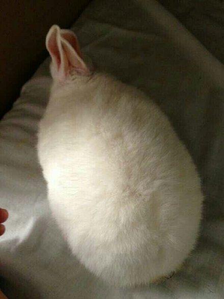 一位主人表示,自家的兔子睡着了,非常像刚裹好面粉等着下锅的油炸大虾…