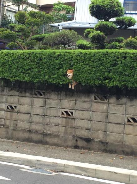 长崎一哥们放学回家,突然发现路旁茂密的灌木丛里,开出了一朵艳丽的柴犬