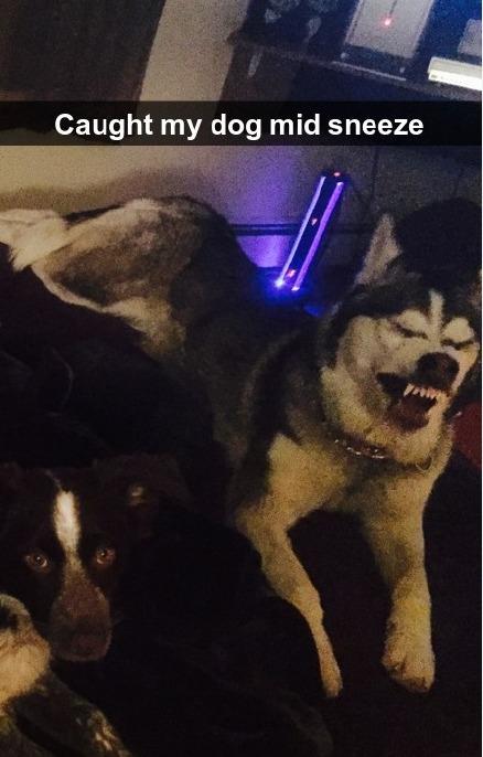 网友拍到自己家里的狗,打喷嚏的样子,简直哈哈哈哈哈