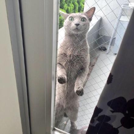 一位主人无奈地表示,家里的喵星人一直吵着要出去玩,可一放出去,就变成这副表情趴在门上...目测是热成狗了